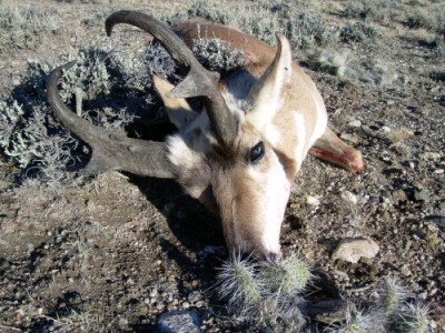 Bill's Pronghorn